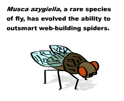 musca-azygiella-1